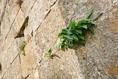 Wall with green leaves Stock Image