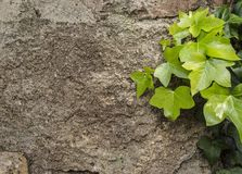 Wall with green leaves. Stone and bricks wall with green leaves Royalty Free Stock Photos