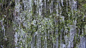 Wall of Green Moss with Frozen Icicles and Water Dripping Textured Background 1080p stock video footage