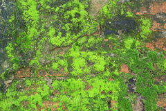 Wall of green moss texture Royalty Free Stock Photography