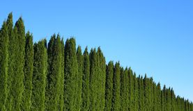 Wall of green trees. Behind these trees there is a busy road. The purpose of plantation is to absorb the sound of passing vehicals stock photo