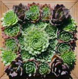 Wall hanging of green succulent plants Royalty Free Stock Images
