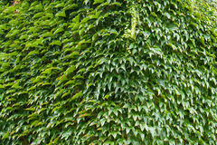 Wall of a house with covered with ivy Stock Photography