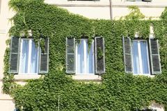 Windows among green ivy Stock Photo