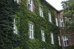 Wall of house with windows and creeper royalty free stock images