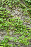 Wall of ivy Royalty Free Stock Images