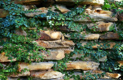 Wall ivy Stock Images