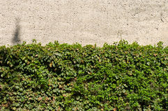 Wall and ivy Royalty Free Stock Photos