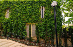 Wall with ivy Stock Photography