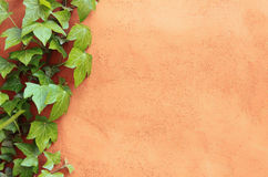 Wall with ivy as background Royalty Free Stock Image