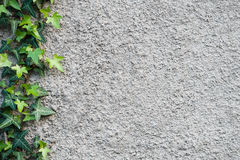 Wall with an ivy. Background. Stock Image