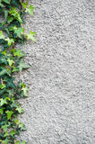 Wall with an ivy. Background. Roughly plastered gray wall with climbing ivy (Hedera helix) on it. Background Stock Photography
