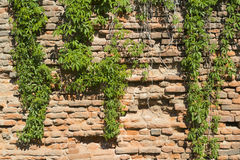 Wall with ivy Stock Photos