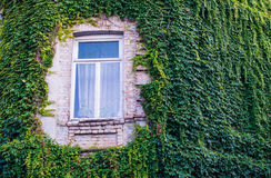 Wall with ivy Stock Images