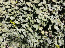 Wall of ivy green leaves of spring Royalty Free Stock Photography