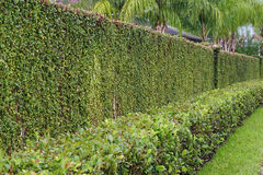 Wall and ivy Stock Image
