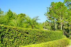 Wall and ivy. Wall with ivy growing on it taken in Florida Royalty Free Stock Photo