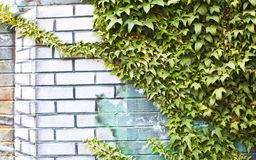 Wall with Ivy (Hedera) Stock Photos