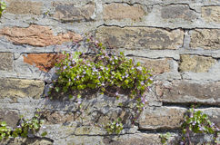 Wall with ivy hedera. Wall with green ivy hedera,  evergreen climbing or ground-creeping woody plants in the family Araliaceae Stock Photo