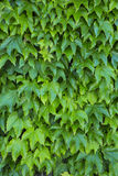 Wall of Ivy (Hedera Helix) Royalty Free Stock Images
