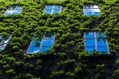 Wall with ivy and several Windows on it Stock Image
