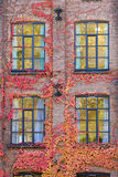 Wall, Ivy and Windows. Ivy covered brick wall with four windows Stock Photo