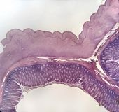 Wall large intestine mammal. A microscopic cross section of the wall of a mammalian large intestine 40X stock image