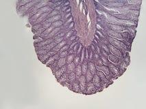 Wall of large intestine mammalian. A microscopic cross section of the wall of a mammalian large intestine 100X Royalty Free Stock Photos