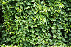 Wall of Leafs Royalty Free Stock Photo