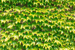 Wall of leafs. Stock Photos