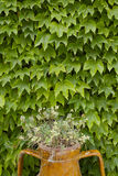 Wall of leaves Stock Image
