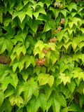 Wall of leaves. Green vine covering a wall stock image