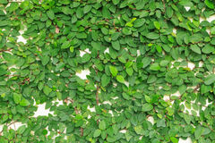 Wall leaves b. Leaves vine on white wall Royalty Free Stock Photo