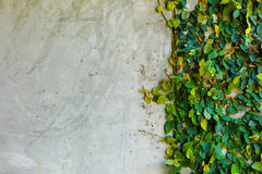 Wall with leaves. Gray cement wall with green leaves stock images