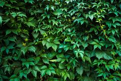 Photo of a forgotten wall overgrown with leaves and ivy royalty free stock images