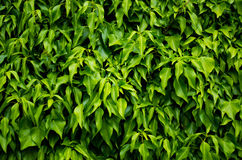 Wall of leaves Royalty Free Stock Images