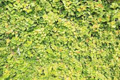 Wall of Light Green Creeping Fig Leaves Background royalty free stock photography