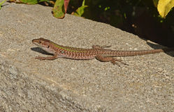 Wall lizard. Under the sun Royalty Free Stock Photos