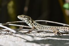 Wall lizard. Beautiful wall lizard in the south of France Royalty Free Stock Photos