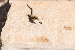 Wall lizard in Comino, Malta Stock Photography
