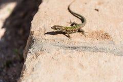 Wall lizard in Comino, Malta Royalty Free Stock Photo
