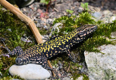 Wall Lizard / Eidechse  Royalty Free Stock Images