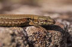 Wall lizard. An european wall lizard sunbathing on some rocks Royalty Free Stock Images
