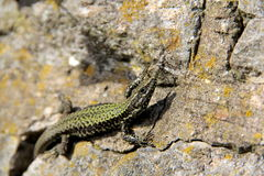 A wall lizard Royalty Free Stock Image