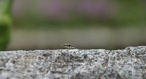 Wall Lizard peeks over the rim of a stone wall Royalty Free Stock Photos