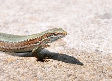 Wall lizard (Podarcis muralis) Stock Photography