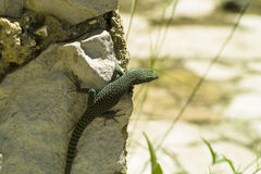 The wall lizard (Podarcis muralis). The lizard on the wall Royalty Free Stock Photography