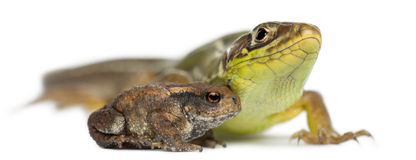 Wall lizard, Podarcis muralis, and Common toad Stock Image