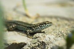 Wall lizard (Podarcis muralis) Royalty Free Stock Photography