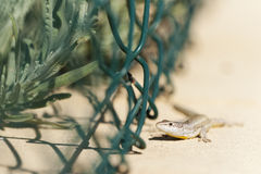 Wall Lizard Royalty Free Stock Photography